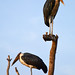 Marabou storks on a dead tree by supersky77