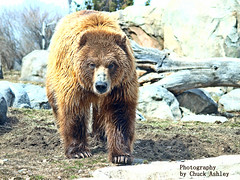 2014-04-02 Mn Zoo Playful Grizzlies-W 247