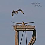 Osprey Couple & Nesting Tower (3 of 3) at Richard DeKorte Park (Meadowlands), Lyndhurst, NJ