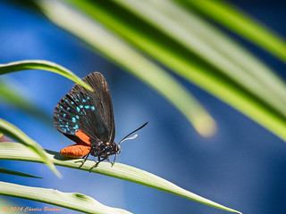 20140420_5752 Atala Hairstreak  (Eumaeus atala)