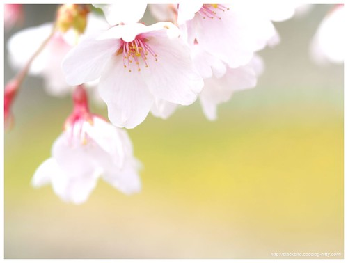 Cherry blossoms 20140412 #04