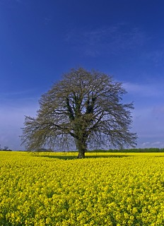 Lone tree at Farnham