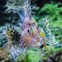 poisonous exotic zebra striped lion fish