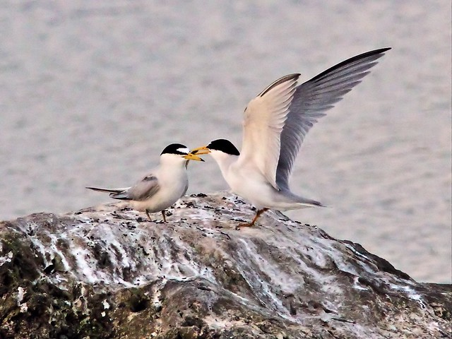 Least Tern female refuses fish from intruder male 26- 20140428