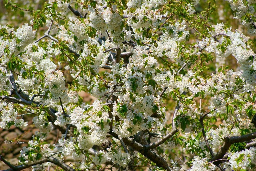 Extremadura-Valle del Jerte-Cerezo en Flor (7)