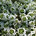 Small photo of Alyssum