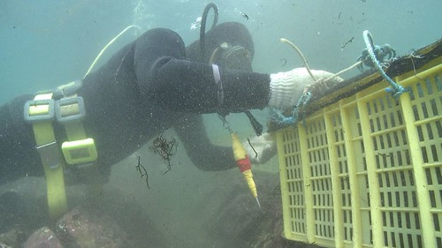 高齡的採收夫潛入水底挖掘九孔