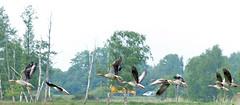 Vlindertelling; een groep ganzen vliegt weg