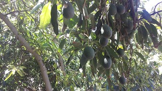 avocado on trees