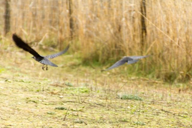 Black birds in flight