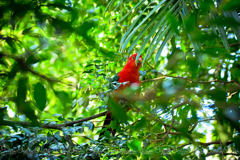 King Parrot bird in the wild