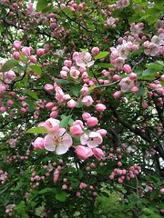 rosa wichuraiana, blossom, flower,