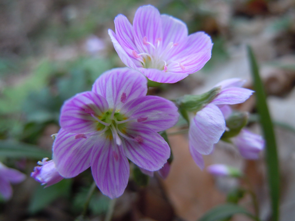 Spring Beauties at Port Louisa National Wildlife Refuge