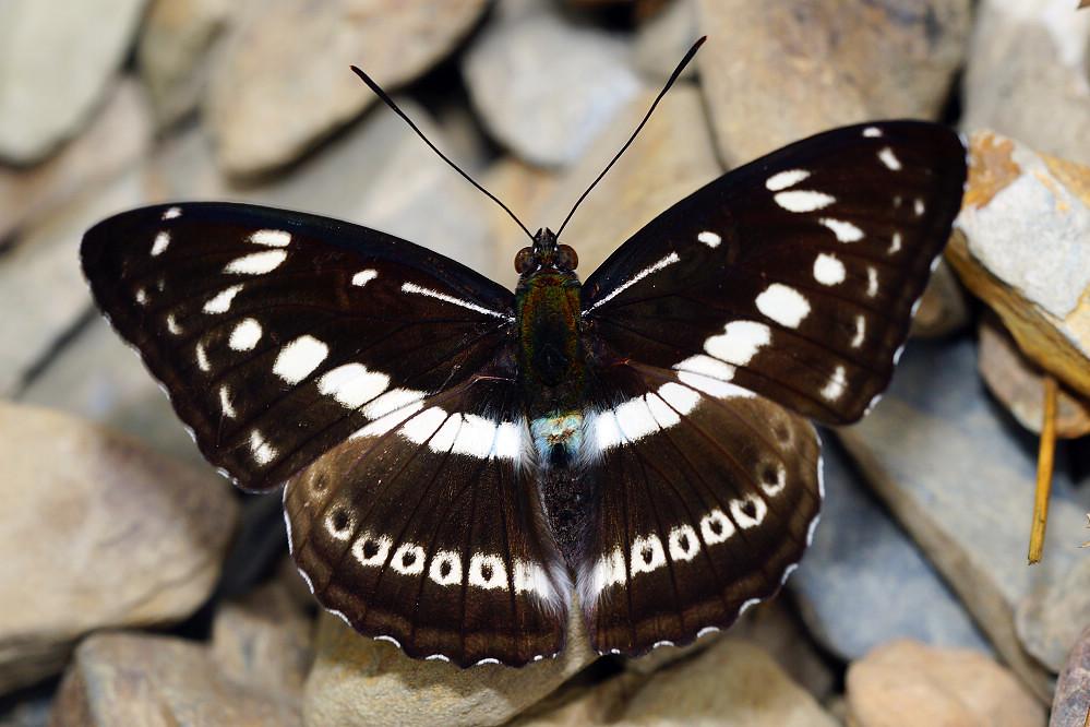 帶蛺蝶屬白圈帶蛺蝶14S101