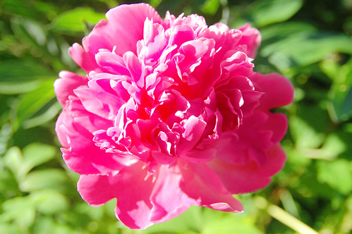 a pretty peony predictor.