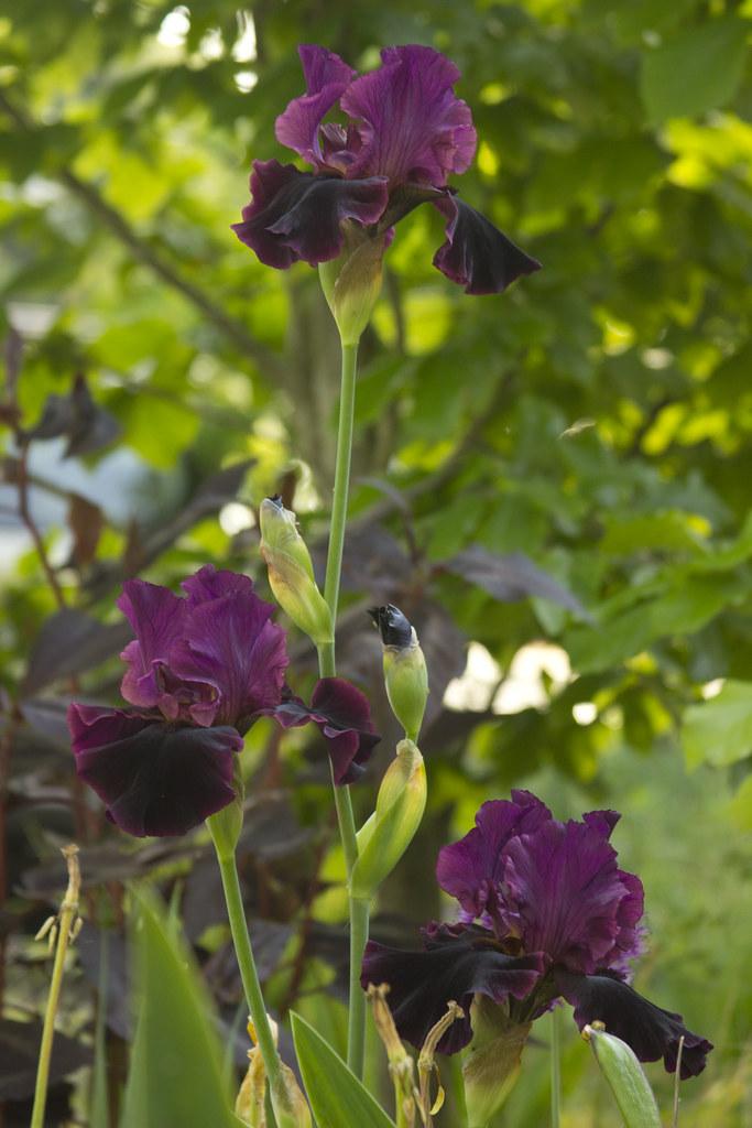 Iris Draculas Kiss