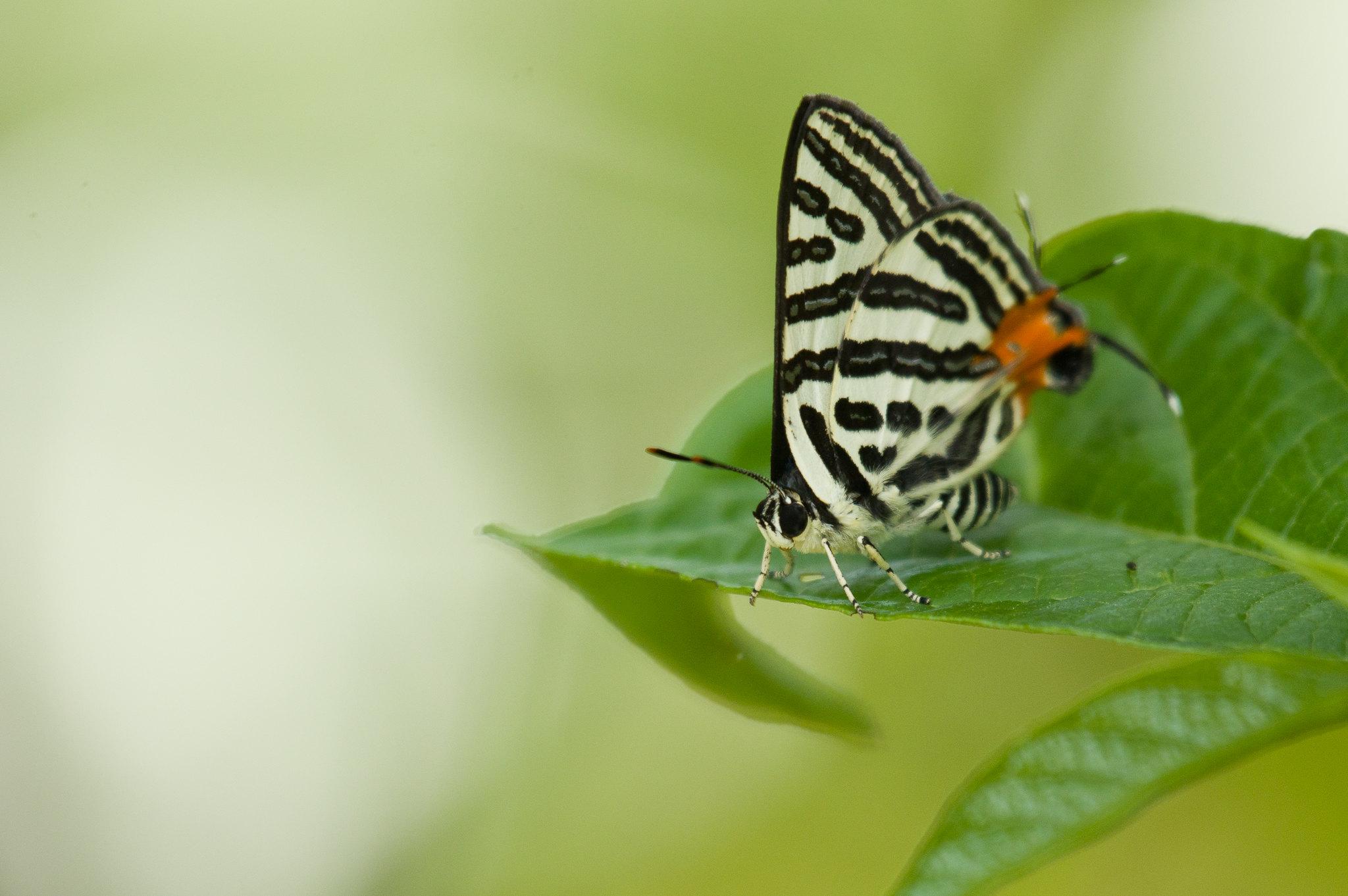 三星雙尾燕蝶