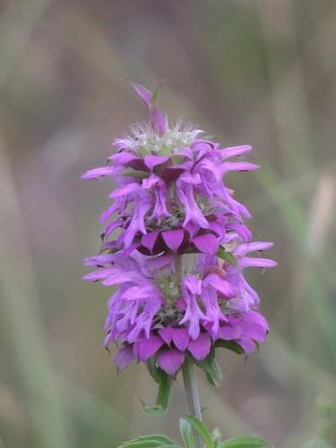 Purple Texas Wildflower!!!