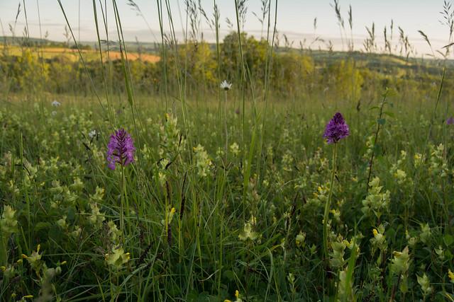 Pyramidal orchid in specie-rich grassland