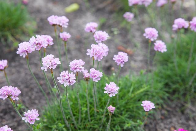 pink flowers. Botanical garden. Lviv, Ukraine