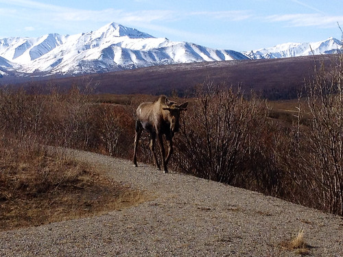 Moose walking on a trail in Denali National Park, Alaska