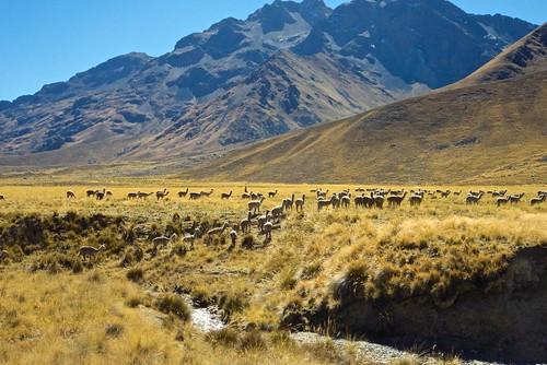 mountains alpacas 2014 mayjune 5photosaday perubolivia14 pervuianandes