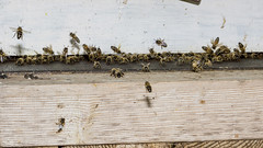 beehive(0.0), pollinator(1.0), animal(1.0), honey bee(1.0), wall(1.0), wood(1.0), invertebrate(1.0), membrane-winged insect(1.0), fauna(1.0), bee(1.0),