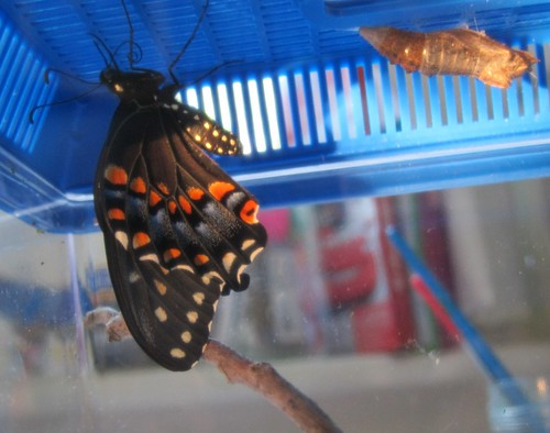 Ms Stripey a few minutes after emerging from her chrysalis