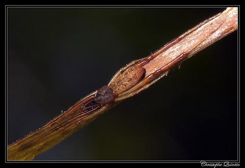 Episinus truncatus