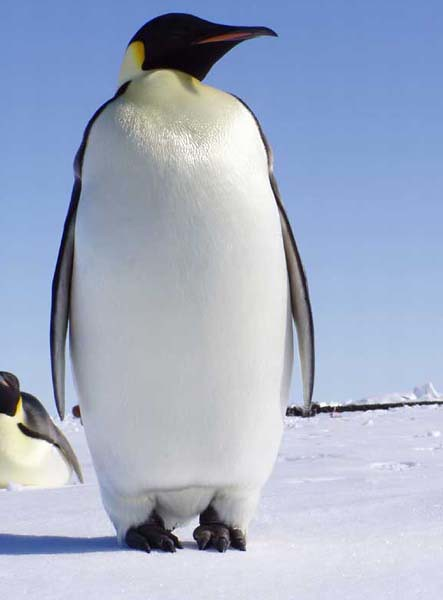 Emperor_Penguin_in_the_Antarctic_600