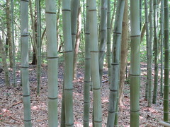 woodland, branch, bamboo, tree, grove, trunk, natural environment, plant stem,