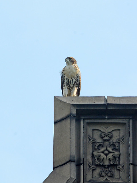 Cathedral Hawk Fledgling - 3340
