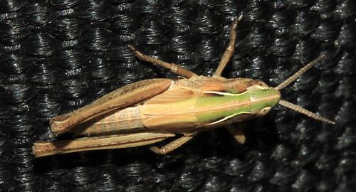 Grasshopper 29706
