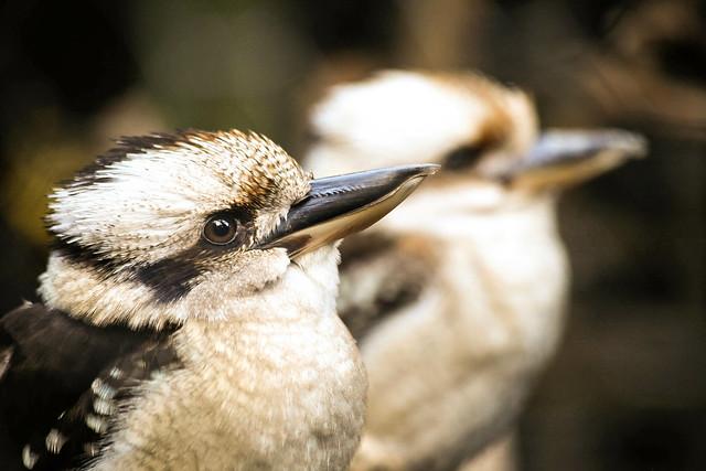Couple of Kookaburra's
