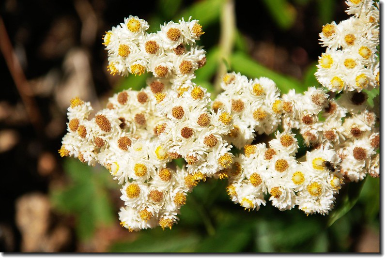 Pearly Everlasting 2