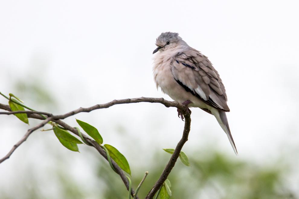 En Chaco´i, a pocos kilómetros de Asunción, se pueden observar cientos de especies de aves y es un lugar recomendable para realizar el avistamiento. Columbina picui, el nombre de nuestra tortolita común, la encontramos tanto en ambientes rurales como urbanos. (Tetsu Espósito)