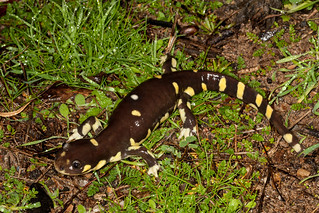 California tiger salamanders