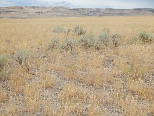 idaho annual habitat poaceae introduced bunchgrass rogerson cheatgrass bromustectorum vandecarroad