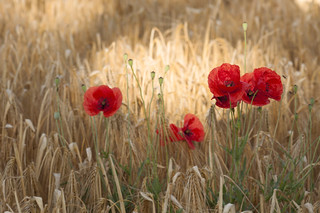 you want poppies- you get poppies