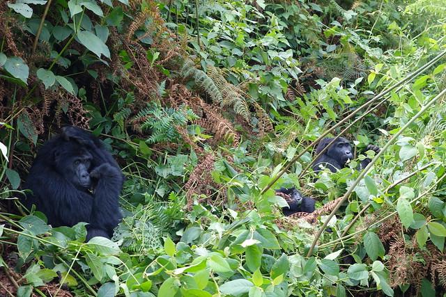 140625 Gorillas (93)