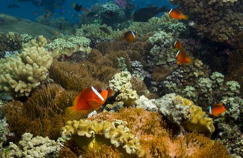 Anemonefish village- Dive Naigani virtual tour in description