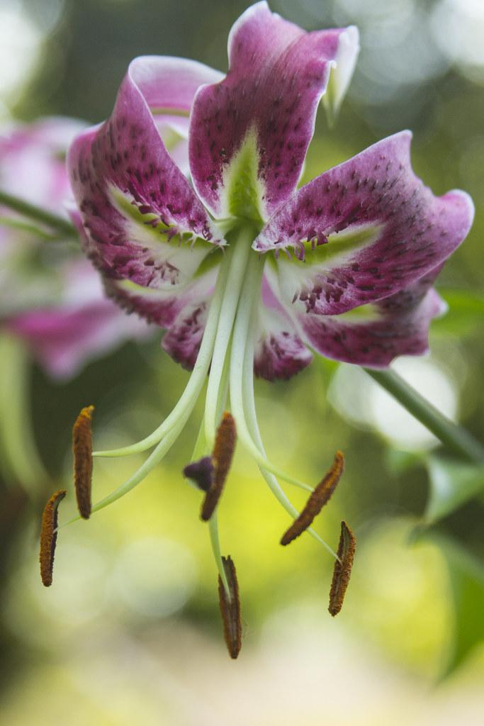 Lilium Black Beauty