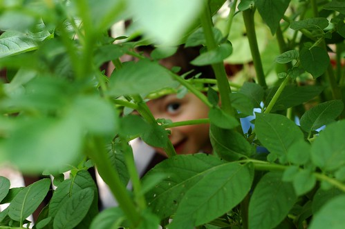 Playing hide n seek in the potato plants by Eve Fox, the Garden of Eating, copyright 2014
