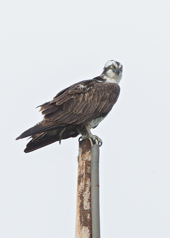 Osprey Cape Verde 2014-01-15