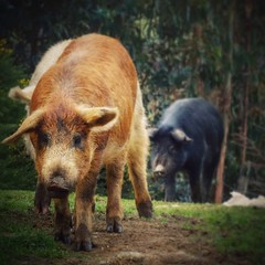 animal, wild boar, domestic pig, pig, pet, fauna, pig-like mammal,