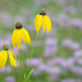 Grey-headed coneflower (Ratibida pinnata) by ER Post