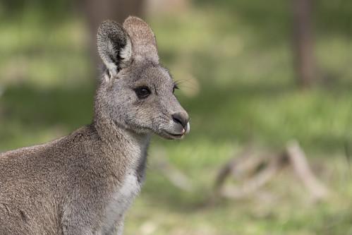 Kangaroo 2014-07-25 (_MG_4781)