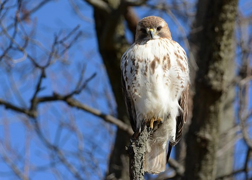 birds birdsofprey raptors hawks hawkredtailed redtailedhawk nikon nikond7100 tamronsp150600mmf563divc jdawildlife johnny portrait eyecontact wow gorgeous