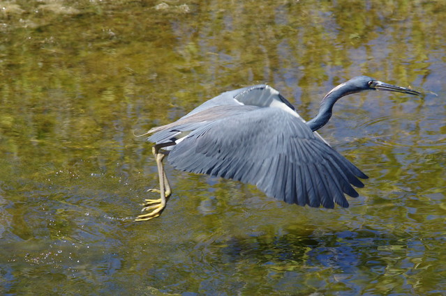 heron out of water