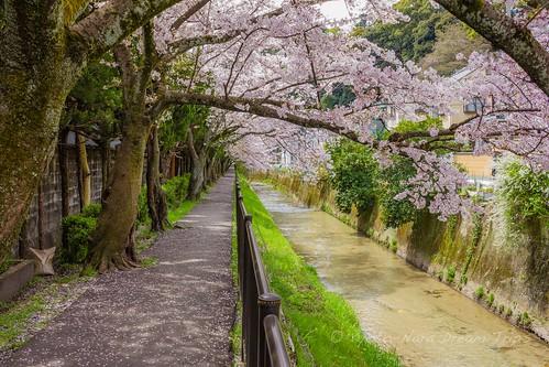 Sakura spots in Sakyō-ku, Kyoto.